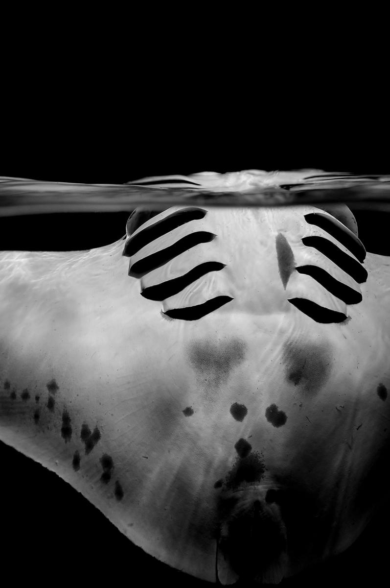 Graceful manta