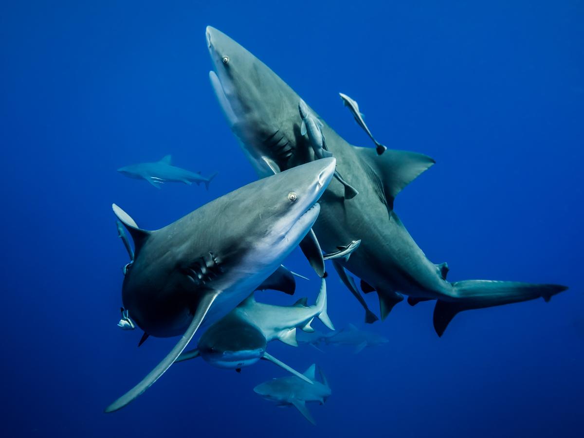 Synchronised ballet of bull sharks