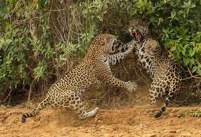 Mammals behaviour winner: The Spat by Joe McDonald (US)