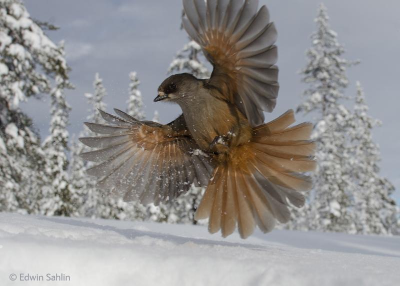 Snowbird - Edwin Sahlin