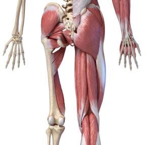 Hüftmuskulatur Rückansicht