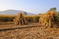 Corn Labour