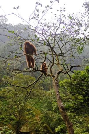 Macaque Horde