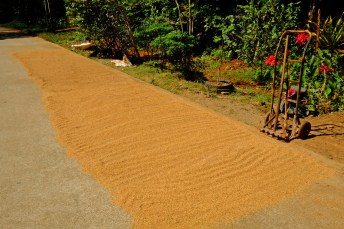 Drying Rice on the Street
