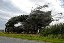 Wind-Blown Trees