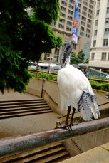 Sydney's massive colony of Australian White Ibis