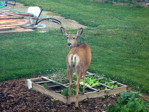 Keeping Deer Away From Your Garden Buffet