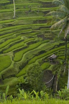 ricefields-in-bali-1