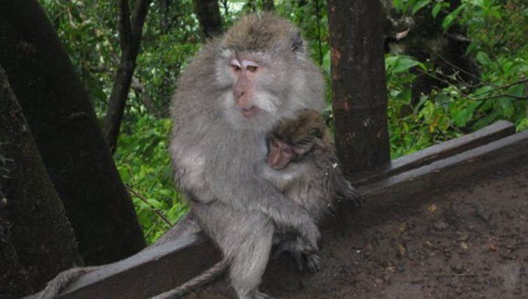 The cheeky macaque monkey