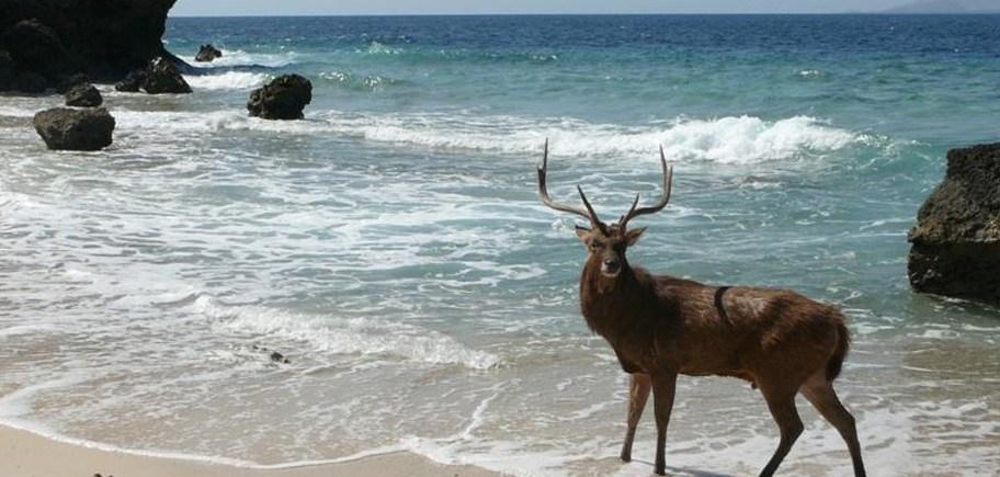 Deer in Menjangan West Bali National Park