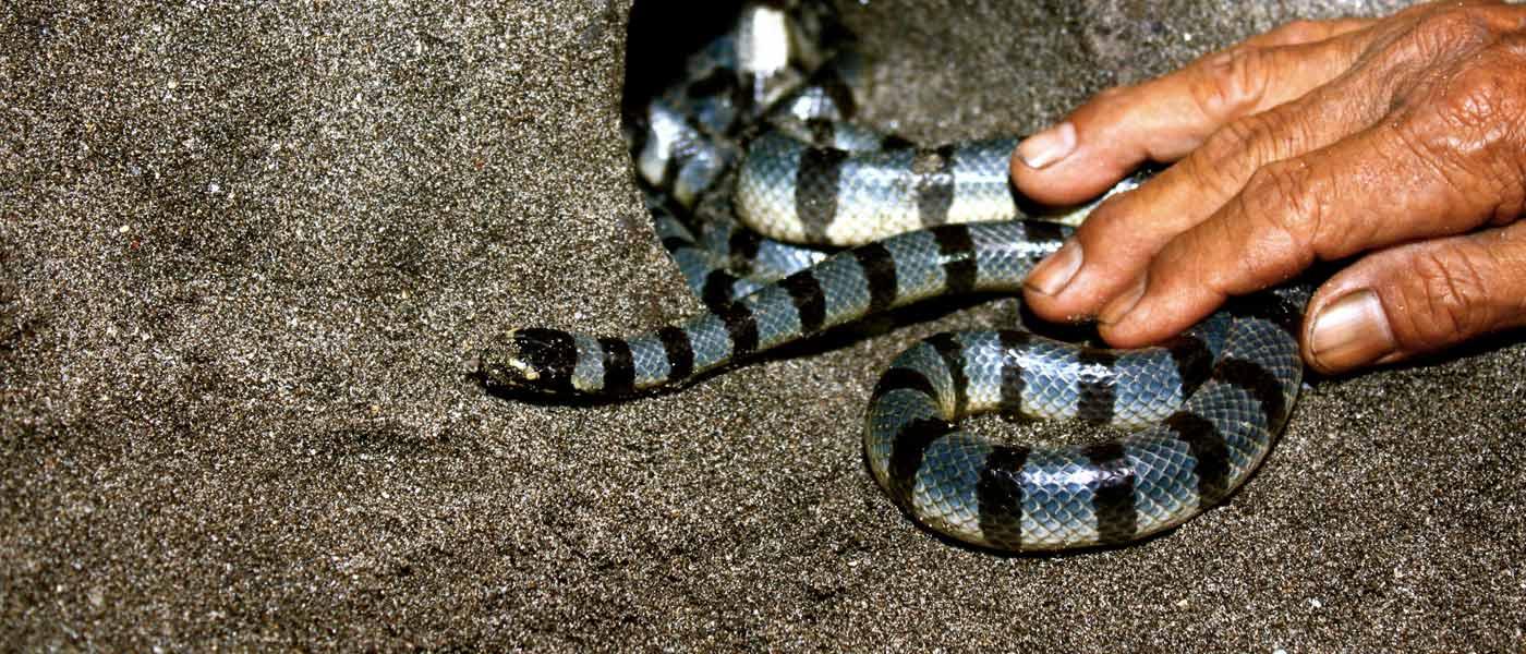 Image result for bahaya ular suci di tanah lot