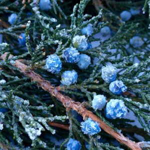 Frosted Juniper and Berries