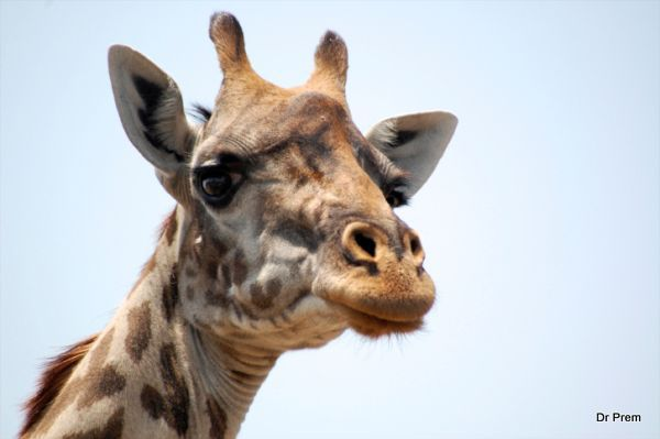 Astounding facts of giraffe  (2)