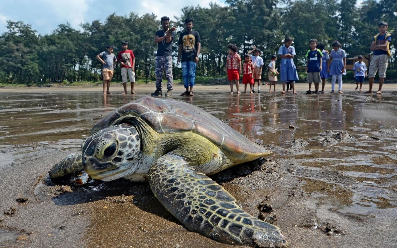 Turtle Nesting in Goa