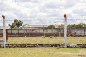 Natuurlijke grasmaaiers bij Grêmio Foot-Ball Santanense, Estádio Honório Nunes (Santana do Livramento)