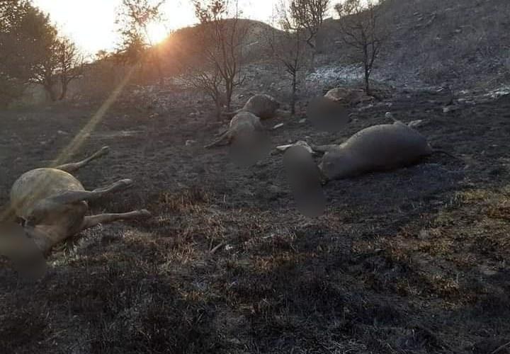 La Sicilia brucia. È strage di bestiame morto