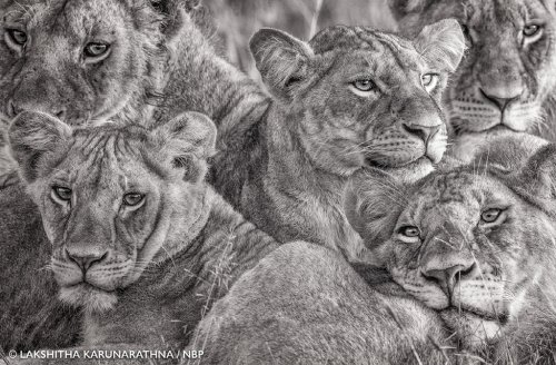 Sri Lankan's photograph of African lionesses captivates the world