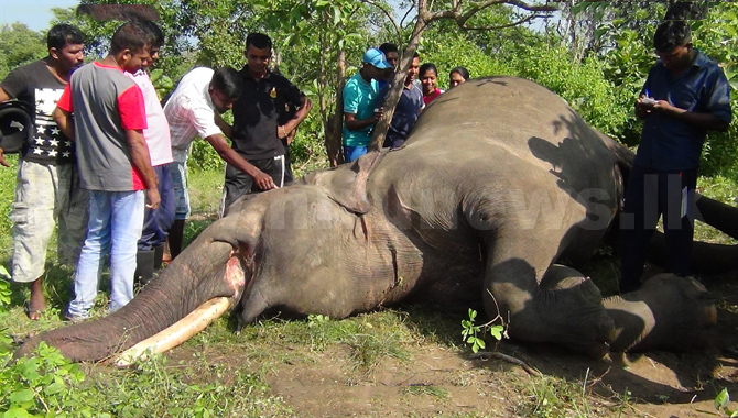 Another Tusker Killed In Puttalam