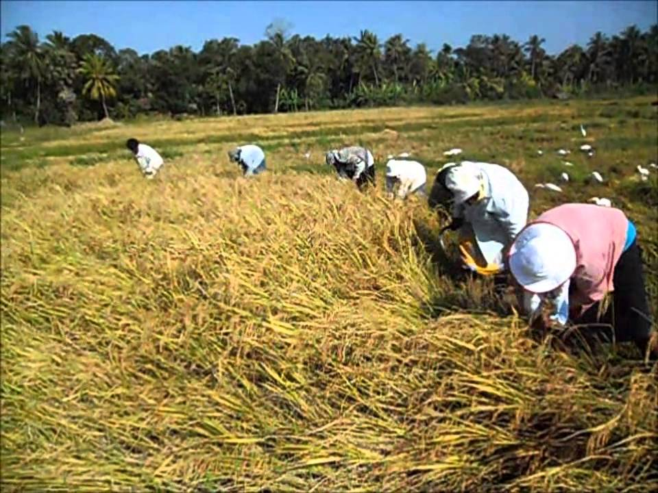 MIS on Paddy Production in Sri Lanka established