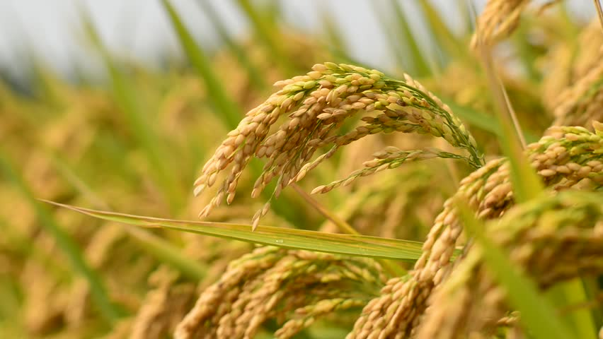 Government allocates Rs. 500 million to purchase Maha season paddy harvest
