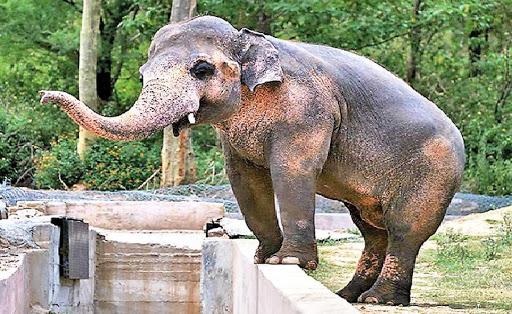 Sri Lanka's Kaavan makes new friend in Cambodia