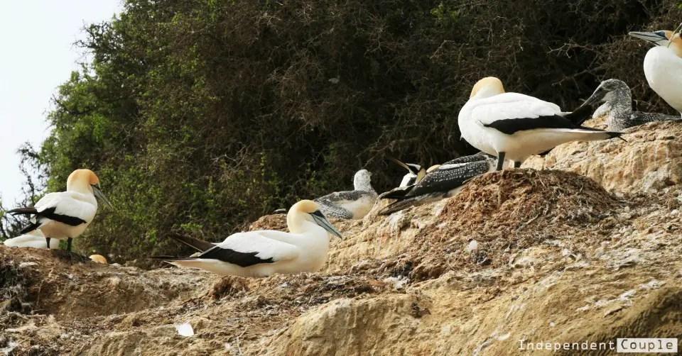 gannets-on-the-rocks-e1453313090745