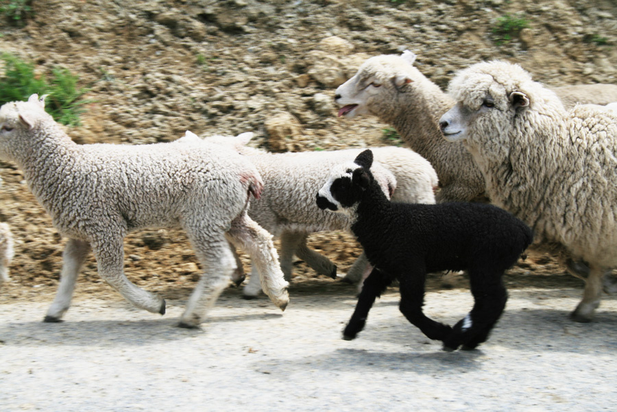 Black Sheep of New Zealand