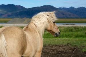 independent people iceland horse countryside