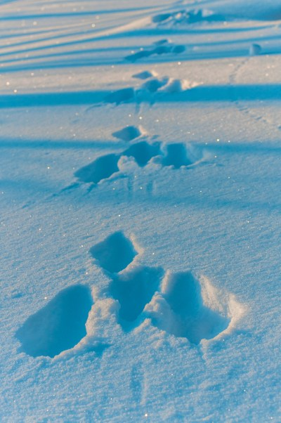 Rabbit traces, Finland