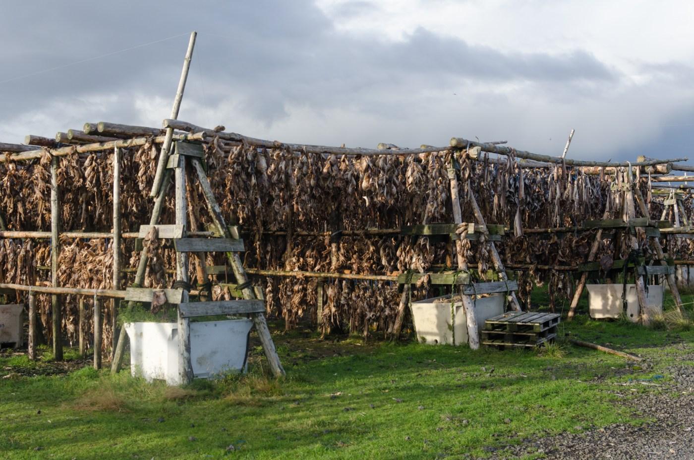Iceland: dried fish racks