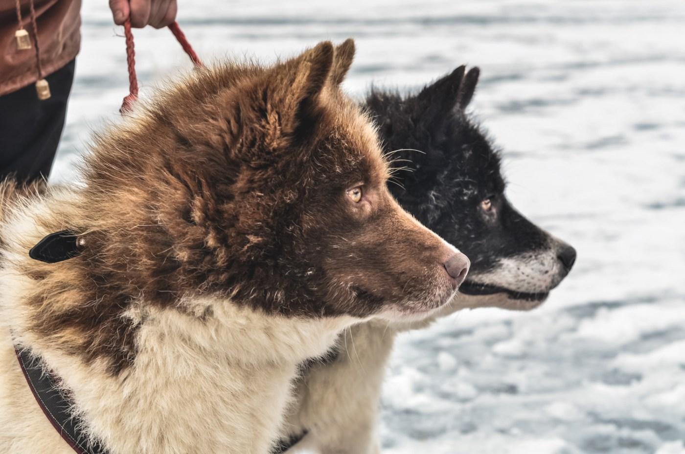 Dog sledging in Estonia