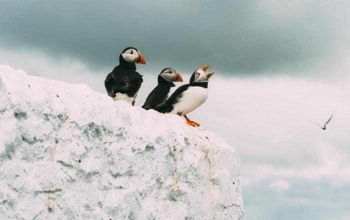 england northumberland farne islands birds puffins
