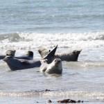 Robben auf Helgoland