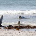Robben am Strand
