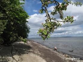 Apfelbaum am Strand