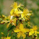 Saint_John's_wort_flowers