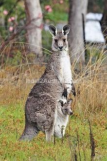 Kangaroo and Australia