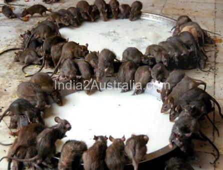 India's  Temple of Rats at Deshnoke