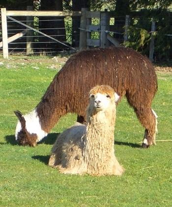 How Alpaca came to Australia?