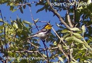 golden cheek warbler