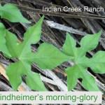 Lindheimer's Morning-Glory 01 - ipomoea lindheimeri
