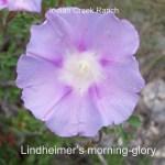 Lindheimer's Morning-Glory 03 - ipomoea lindheimeri