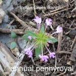 annual pennyroyal 02 - hedeomia acinoides