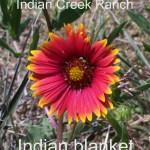 indian blanket - gaillardia pulchella