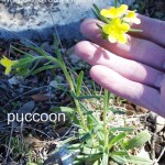 puccoon 02 - lithospermum incisum