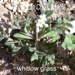 whitlow-grass - draba cuneifolia