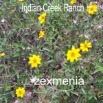 zexmenia - zexmenia hispida