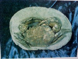 The final prep work has been completed on this fossil Coeloma Crab from Denmark
