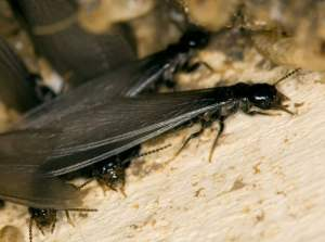 Termites in Indiana: Winged termites