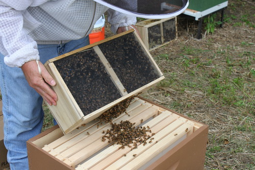 A package of bees. Image courtesy of Bastin Honey Farm